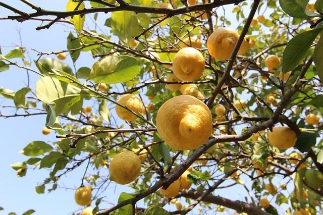 Zitronenbaum schneiden