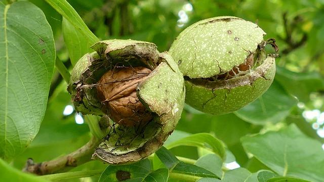 Walnussbaum schneiden