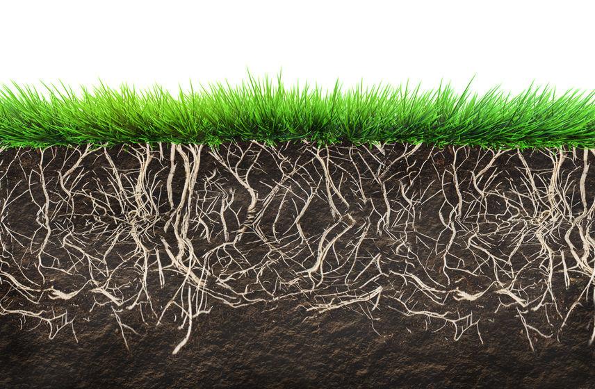 Rasen Wurzeln