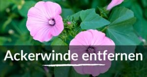 Read more about the article Ackerwinde entfernen