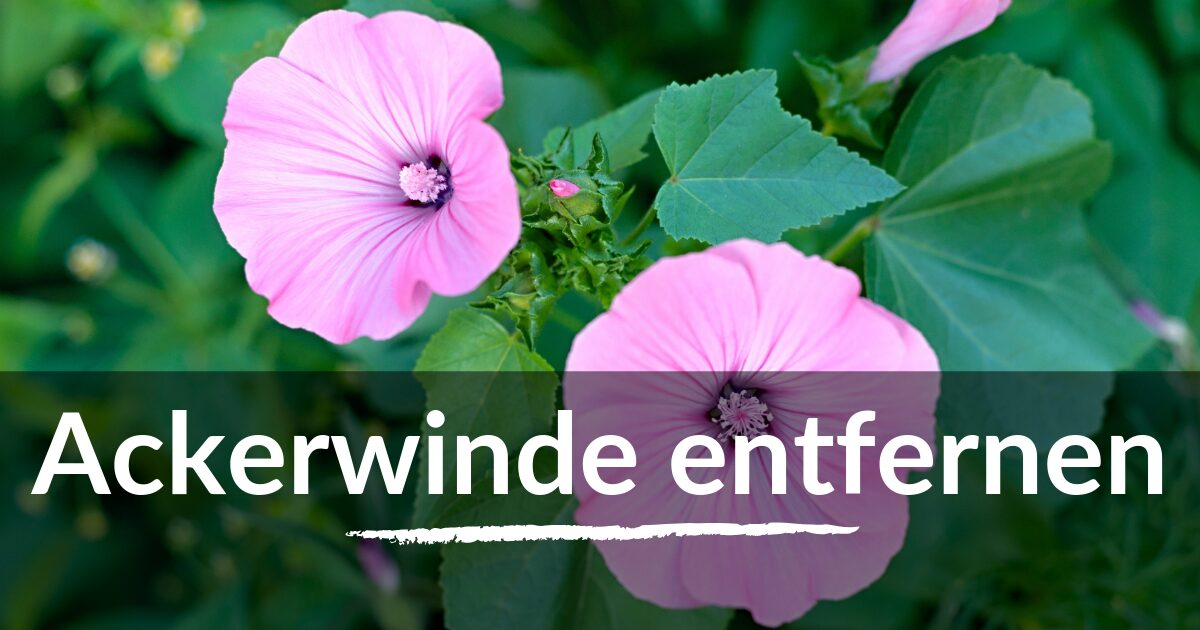 You are currently viewing Ackerwinde entfernen