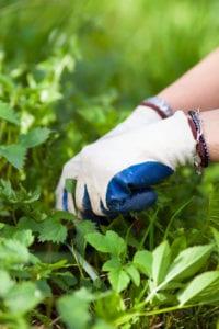 Efeu entfernen mit Handschuhen