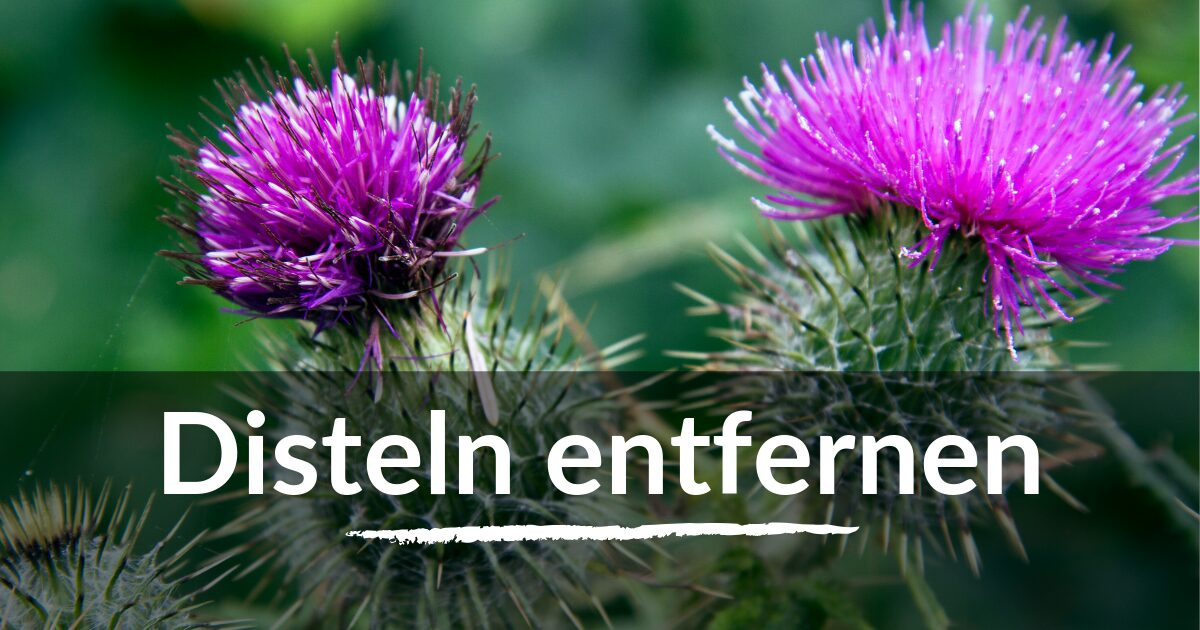 You are currently viewing Disteln entfernen
