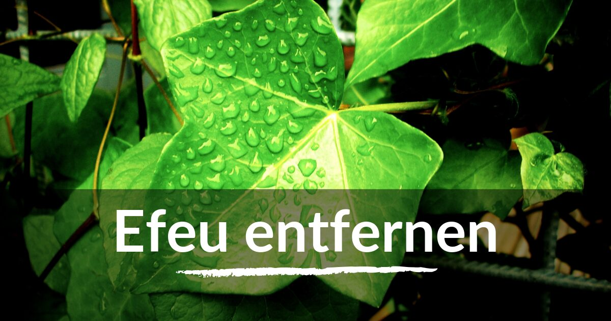 You are currently viewing Efeu entfernen