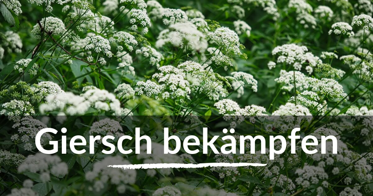 You are currently viewing Giersch bekämpfen