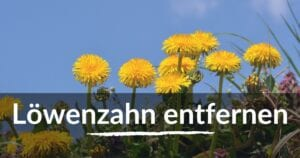 Read more about the article Löwenzahn entfernen