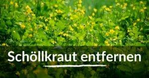 Read more about the article Schöllkraut entfernen