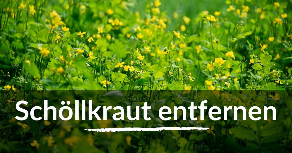 You are currently viewing Schöllkraut entfernen