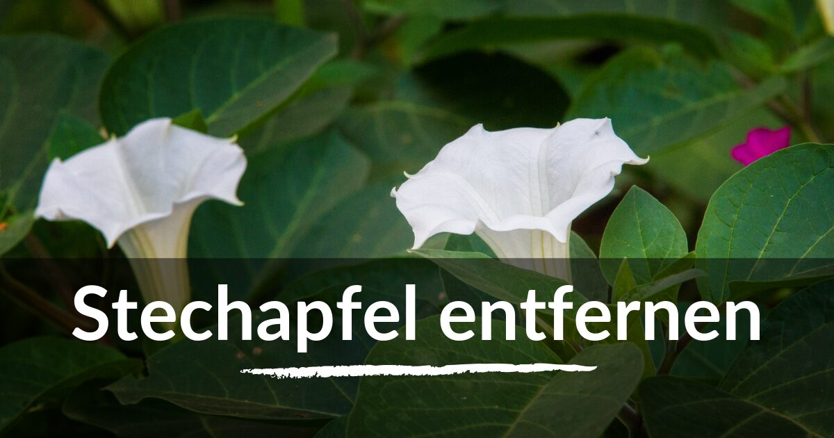 You are currently viewing Stechapfel entfernen