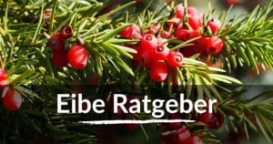 Read more about the article Eibe Ratgeber