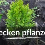 Hecken pflanzen