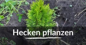 Read more about the article Hecken pflanzen