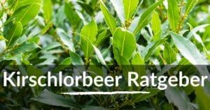 Read more about the article Kirschlorbeer Ratgeber