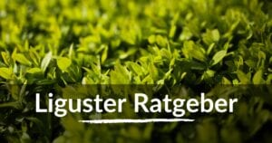 Read more about the article Liguster Ratgeber