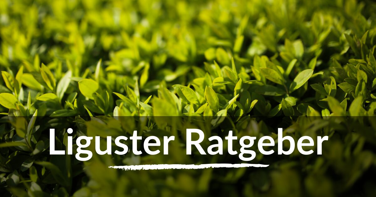 You are currently viewing Liguster Ratgeber