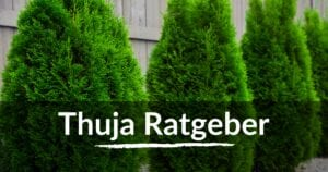 Read more about the article Thuja Ratgeber