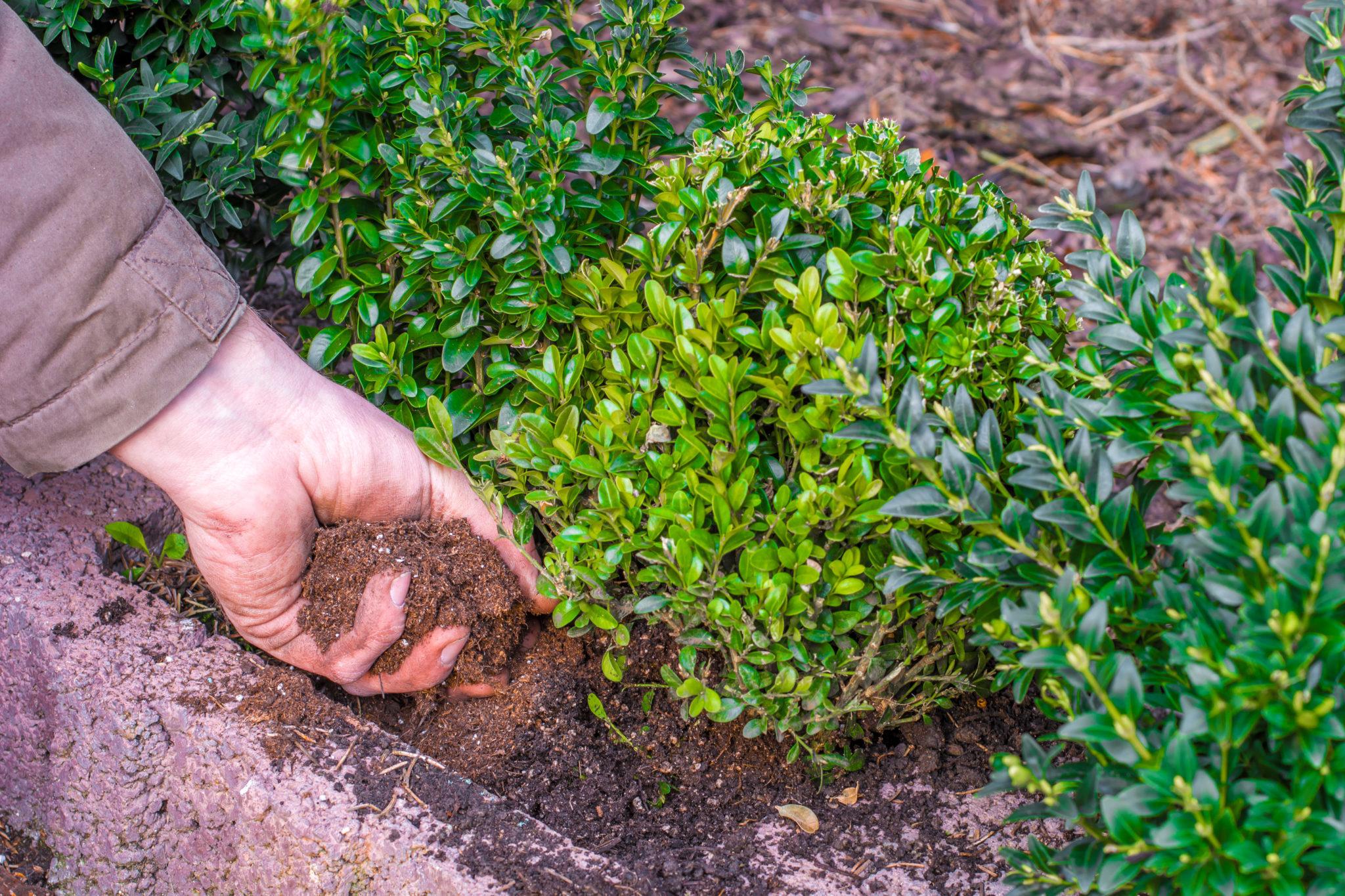 Hecken düngen beim Pflanzen