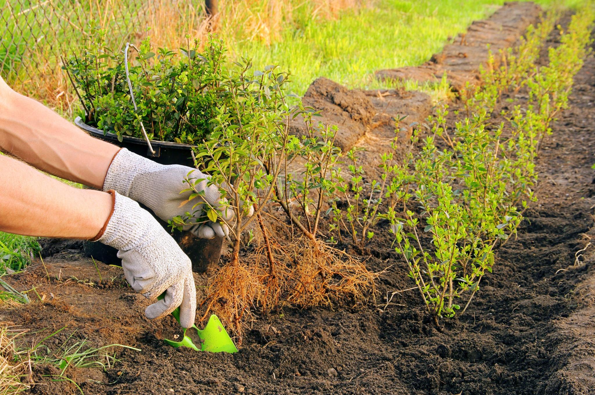 Hecken pflanzen richtiger Boden
