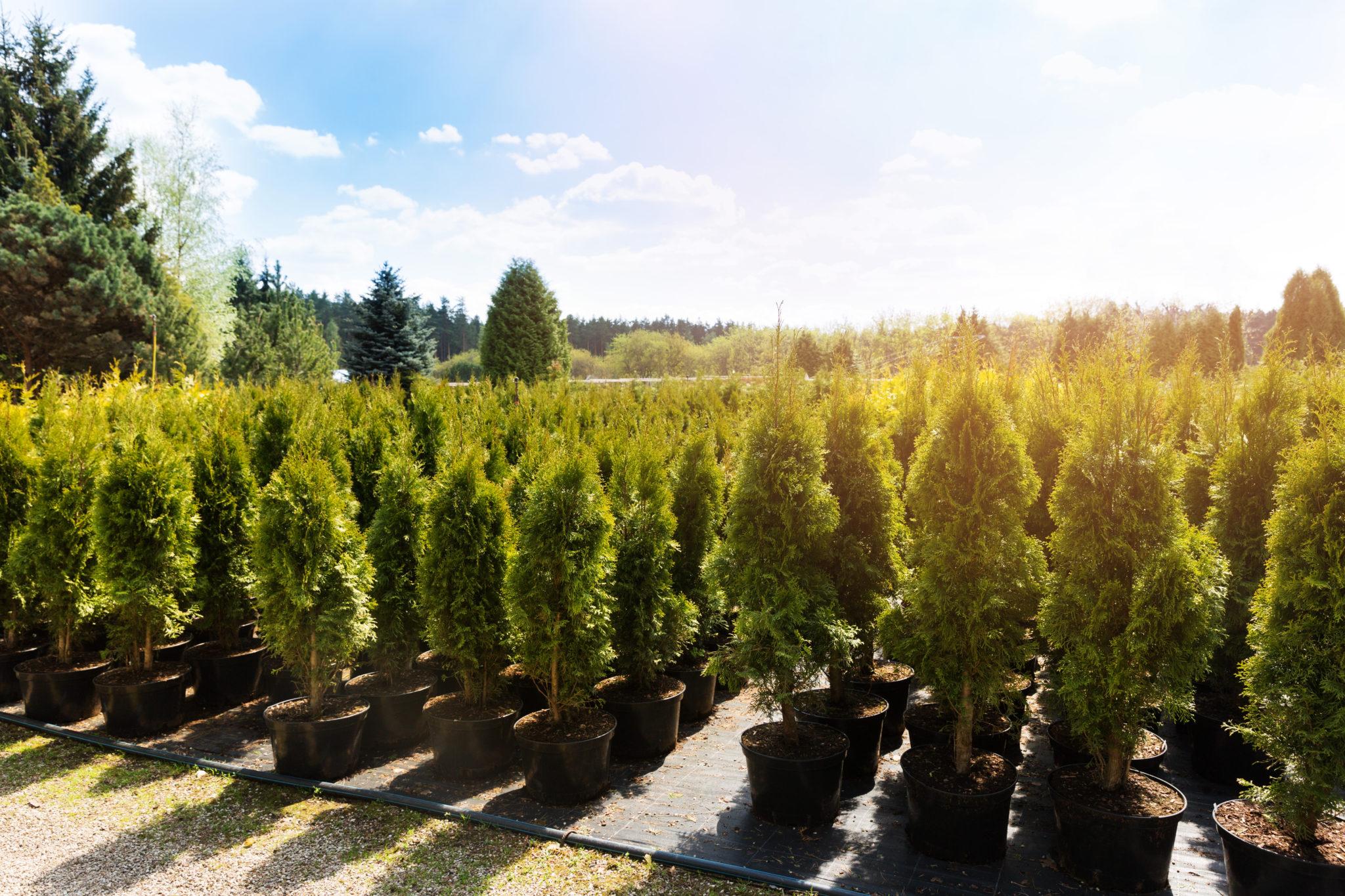Hecken pflanzen Baumschule