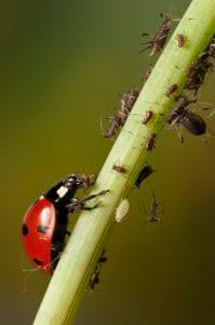 Marienkäfer Blattläuse Liguster