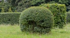Liguster verliert Blätter