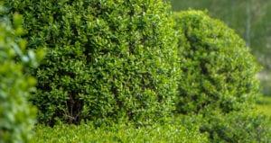 Liguster pflanzen