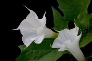 Weißer Stechapfel