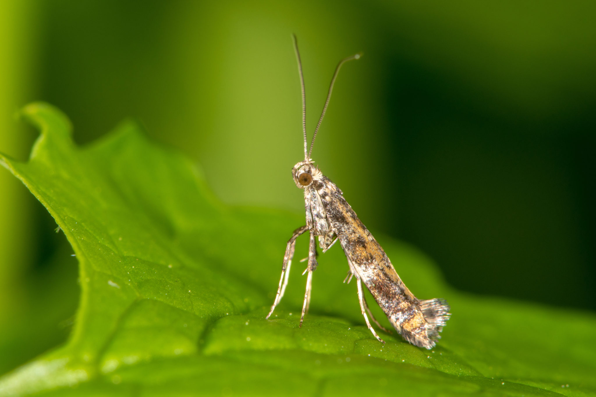 Gracillariidae Miniermotte