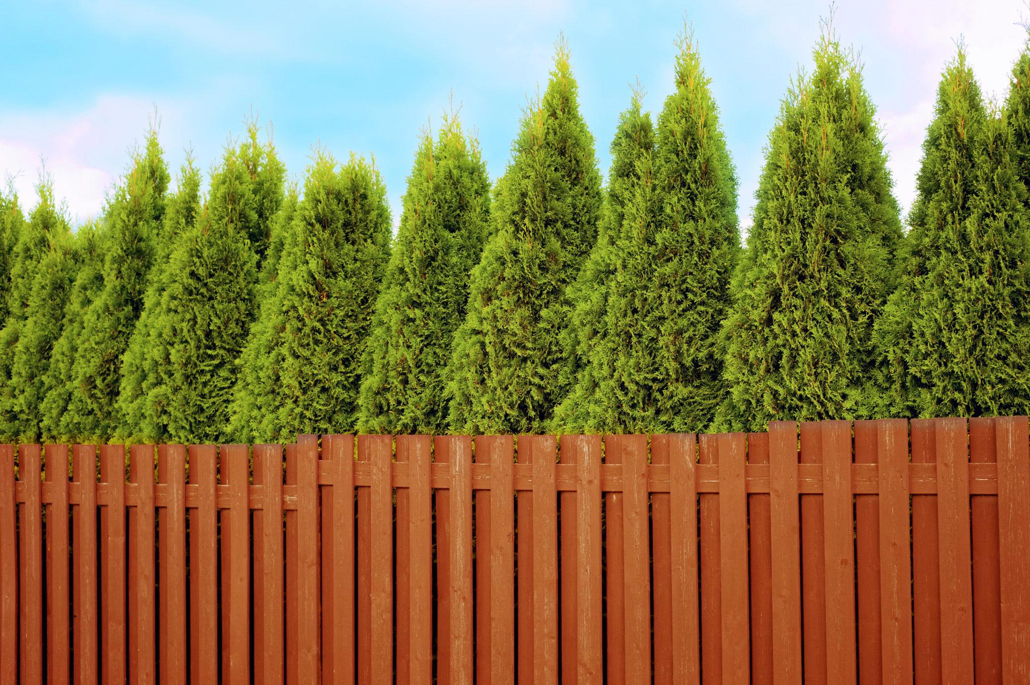 Hecken pflanzen Sichtschutz